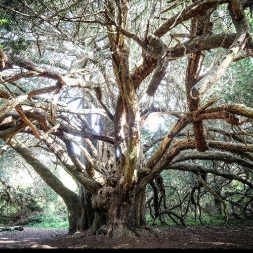 116. Unearthing the strange histories of the yew trees of Kingley Vale with poet Hugh Dunkerley